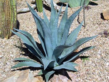 An agave in Tucson, Arizona.