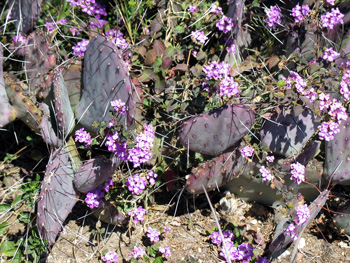 Purple cactus with purple flowers.